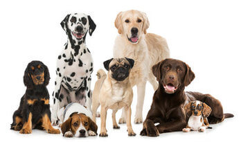Medium Dog Breeds Uk